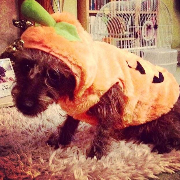 Crumble the dog dressed as a pumpkin